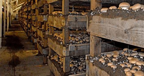 Inside a Traditional Mushroom Farm